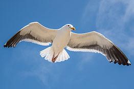 Seagull, Morro Bay, California