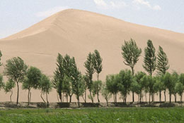 Desert sand creeps up on trees planted to hold it back, Yulin, China.