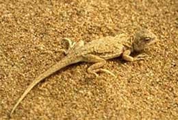 A lizard scuttles over sand that was once a cultivated field in Yulin, China.