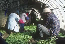Women tend plants in a greenhouse in winter in Beijing, China.
