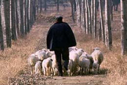 Man herds sheep in the outskirts of Beijing, China.