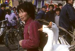 Woman carried white geese in a basket in Anhui, China.