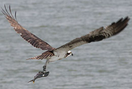 An osprey grabs a fish in its talons near Smith Island, Chesapeake Bay, Maryland.