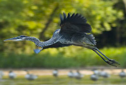 Heron in flight over a lake, Cary, North Carolina.
