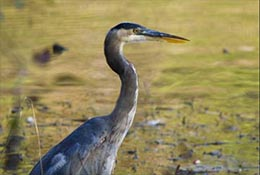Heron, Apex, North Carolina.