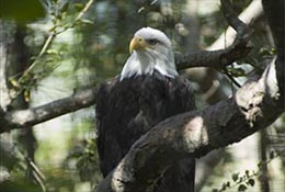 Bald eagle, Santa Barbara Zoo, Santa Barbara, California.
