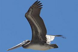 Pelicans, Central Coast, California.