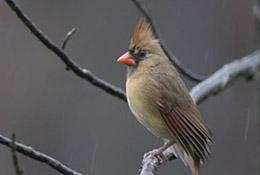 Cardinal in the rain, Apex, North Carolina.