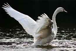 Swans, Cary, North Carolina.