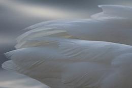 Swan feathers, Apex, North Carolina.