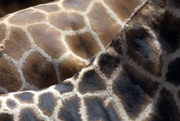 The pattern on the back of giraffes, Santa Barbara Zoo, Santa Barbara, California.