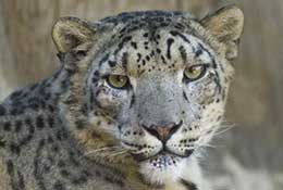 A snow leopard at the Santa Barbara Zoo, Santa Barbara, California.