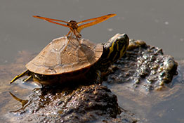 Nature's aircraft carrier - an insect lights on the back of a turtle, North Carolina.